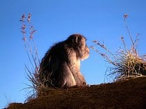 photo d'un singe qui contemple le coucher du soleil